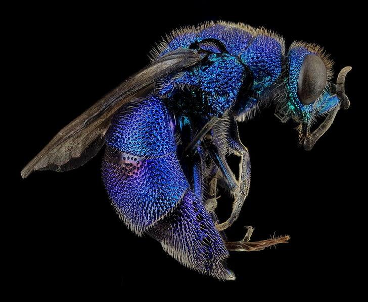 кукувица оса, макрос, монтирани, син металик, chrysidid оса, Криле, насекоми