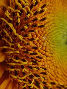 Sun flower, lill, suvel, päevalilleseemned, Helianthus, kollane, roheline