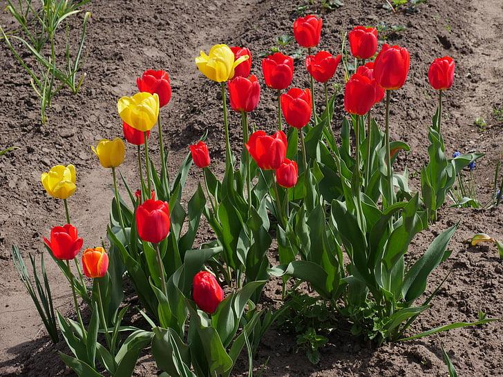 punased tulbid, kollased tulbid, Emajõe luht, lillepeenar, Bloom, Kevadlilled, Kaunis
