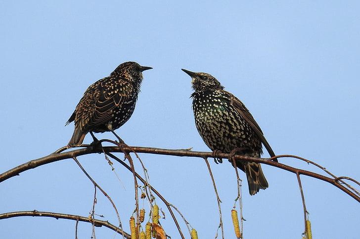 птици, гледат, природата, Songbird, птица врабче, звезда, малки птици