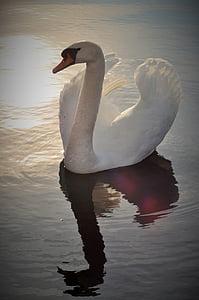 swan, lake, bird, water, pond, majestic, animal