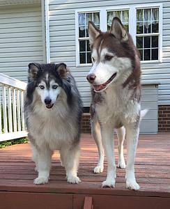 huskies, dogs, siberian, animal, husky, canine, purebred