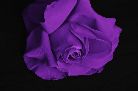 rožės, gėlė, meilė, augalų, Valentino, spalva, Rožė