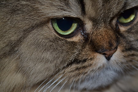 cat, persian cat, cat's eyes, animal portrait, persians, cat face, pet