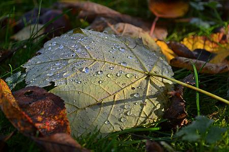 jeseň, listy, Príroda, Sezóna, mŕtvych, ráno, kvapky vody