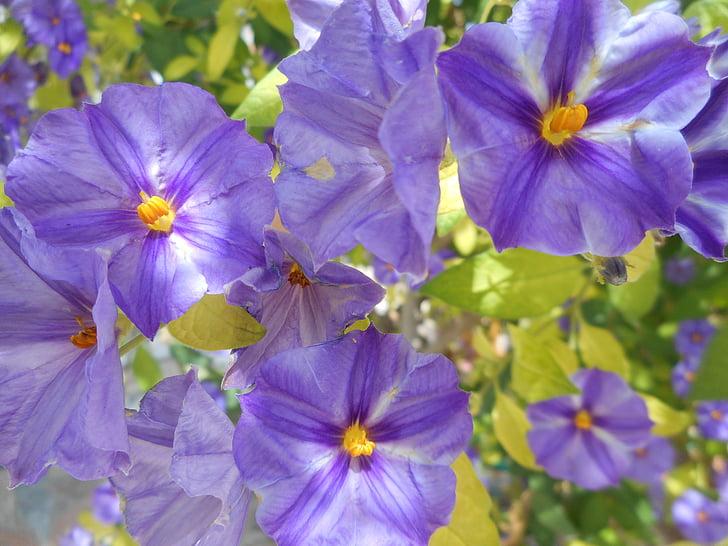 flors, violetes, salvatge, plantes, flors violetes, porpra, primavera