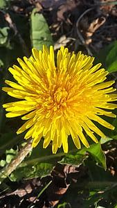 Regrat, cvet, pomlad, poletje, rumena, Plevel, rastlin