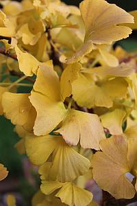 ginkgo, yellow, autumn, plant, ginkgo leaf, flora, fan leaf tree
