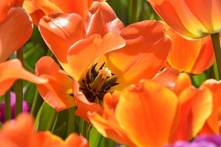 Hoa, khu vườn, mùa xuân, nhụy thiên nhiên, hoa mùa hè, vườn hoa, cánh hoa
