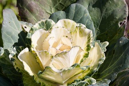 cols ornamentals, Brassica oleracea, col verda, Kraus, fulles, verd, blanc