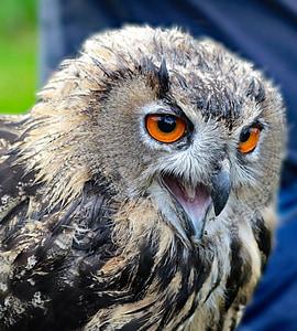 독수리 올빼미, 올빼미, 새, 동물, 야생 동물, 자연, 이 글