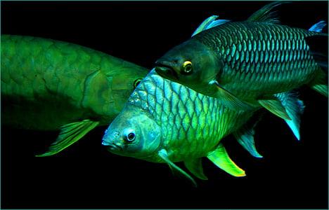 riba, more, meeresbewohner, pod vodom, stvorenje, životinja, šarene
