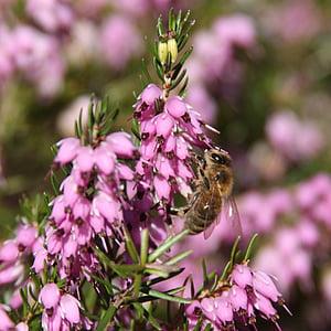 mosca de voltar, flors, volar, insecte, natura, voltar, macro