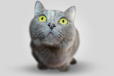 котка, животните, очите, сив, изглед, видяна, домашен любимец