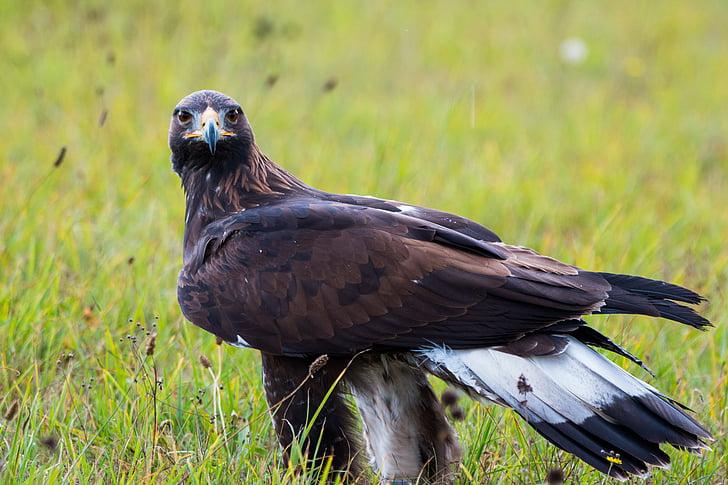 скален орел, Адлер, птица, перо, природата, дива птица, лети