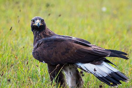 golden eagle, adler, bird, feather, nature, wild bird, fly