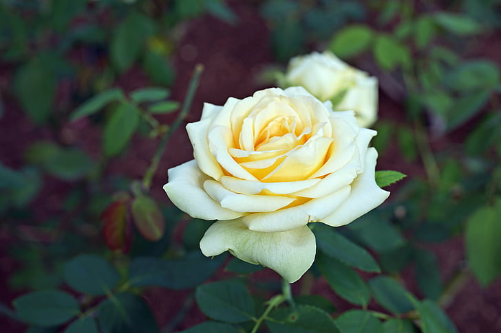 kollane roos, lill, Aed, tõusis