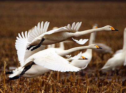 cisne, cisne de whooper, pájaro, aves migratorias, cisnes, aves, campo