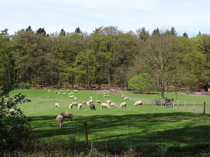 con cừu, thịt cừu, con cừu trắng, Thiên nhiên, cỏ, Meadow, động vật có vú