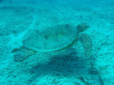 черепаха, мне?, Рептилия, Подводный, морской, воды, водные