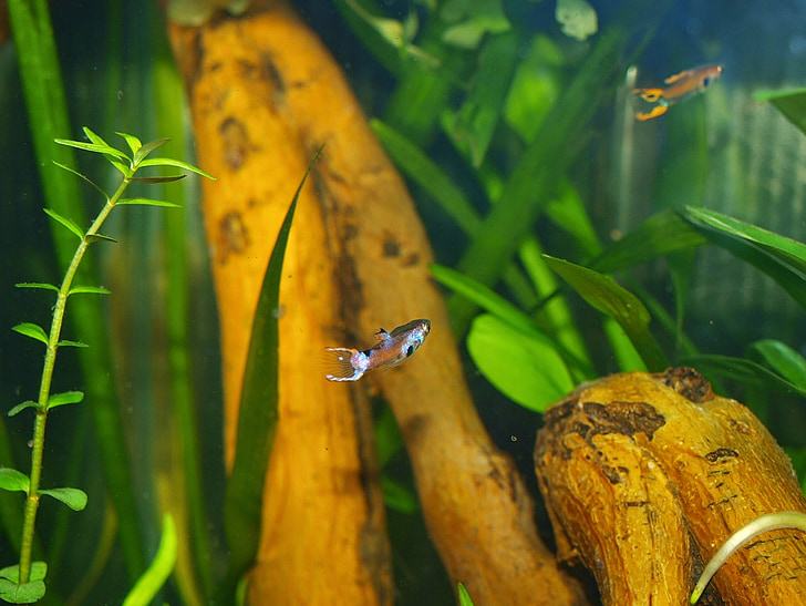аквариум, риба, животни, природата, вода, прясна вода риба