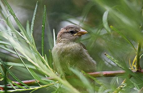 врабче, птица, дърво, природата, перо, едър план, птици