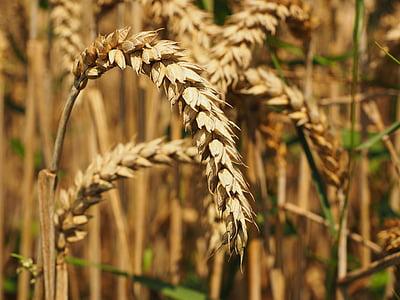 trigo, pão de trigo, trigo de semente, pico, cereais, grão, campo