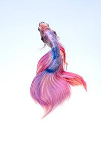 fish, underwater, red, betta, aquarium, colorful, one animal