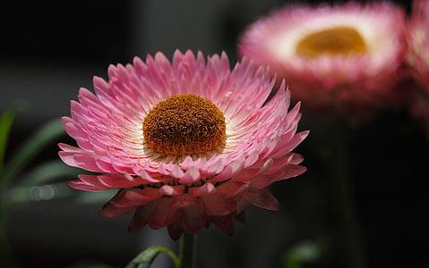 Helichrysum, strawflower, çiçekler, pembe, bitkiler, doğa, bitki