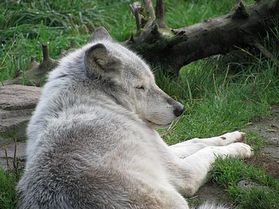 wolf, sleeping, mammal, gray, white, grey, canine