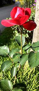 Hoa hồng, màu đỏ, Hoa hồng, Hoa hồng nở, thực vật, Hoa, Blossom