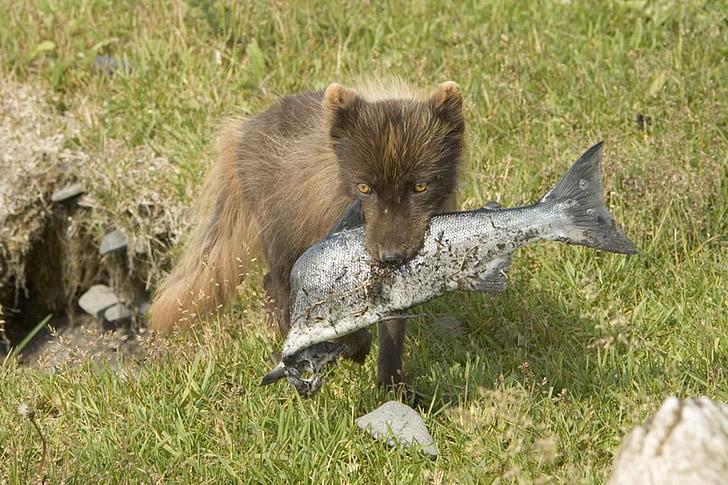 fox, fish, eating, food, wildlife, outdoors, nature