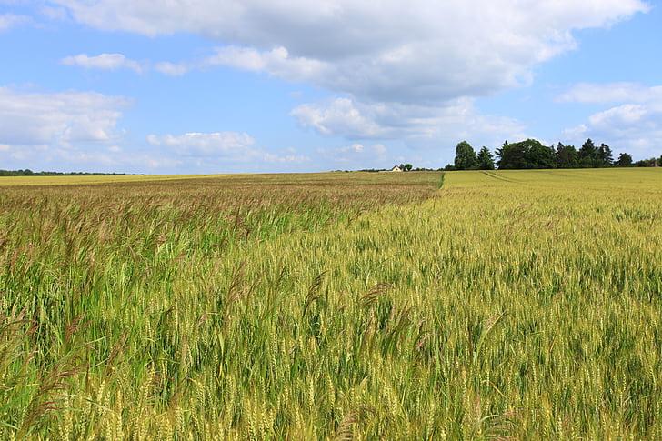 wheat, fields, cornfield, cereals