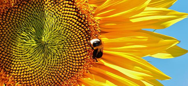 Sun flower, Hummel, suvel, Aed, õis, Bloom, kollane