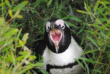 penguin, south africa, cape town, boulder beach, cape