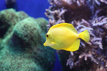 peix, Aquari, vida de mar, escull de corall