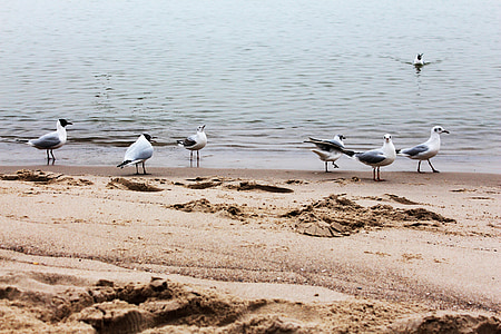 นกนางนวล, ชายหาด, น้ำ, นก, ทะเลบอลติก, นางนวล, หาดทราย
