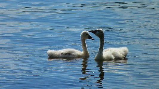 swan, swans, young swans, schwimmvogel, water bird, bird, animal