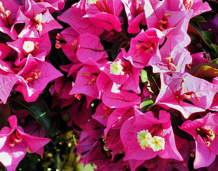 Бугенвиль, Цветы, розовый, завод