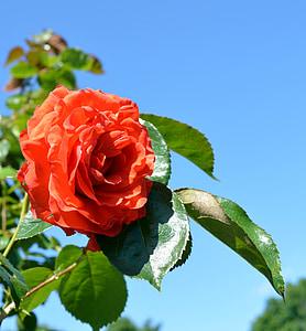 Rosa, floribunda, flor, flor, flor rosa, flors roses, flor