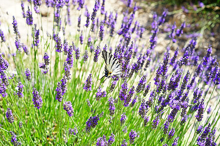 levandų laukas, gėlės, violetinė, floros, gėlių, Levanda, levandų gėlės