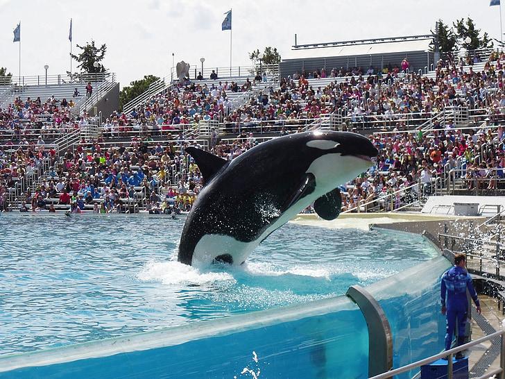 Orca, Kit, pokazati, SeaWorld, akvarij, životinja, štrcanje