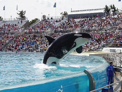 Orca, кит, Показати, SeaWorld, акваріум, тварини, сплеск