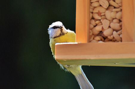 синигер, птица, птица семе, фъстъци, емисия, зависи от, перушина