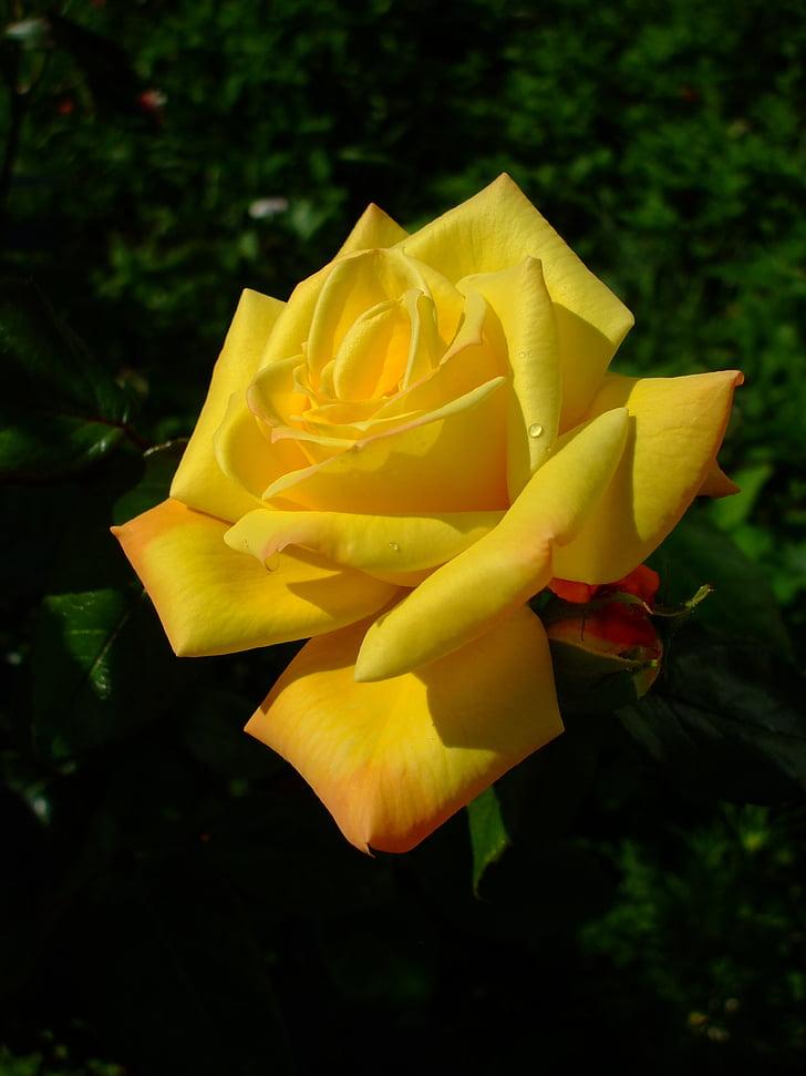 rosa groga, Rosa, flor, flor, flor