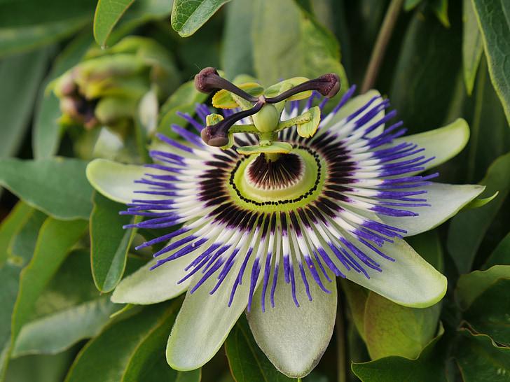 flor, flor, flor de la passió