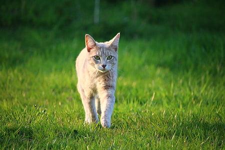 cat, kitten, mackerel, mieze, breed cat, young cat, cat baby