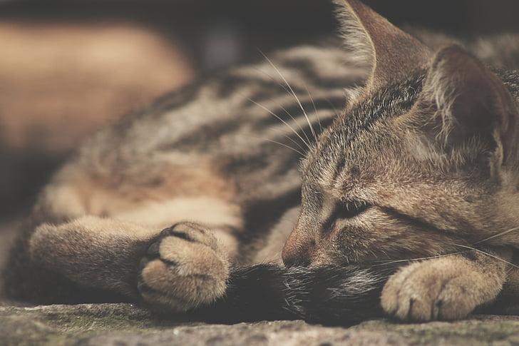 gat, son, animals de companyia, gat domèstic, animal, valent, animals domèstics