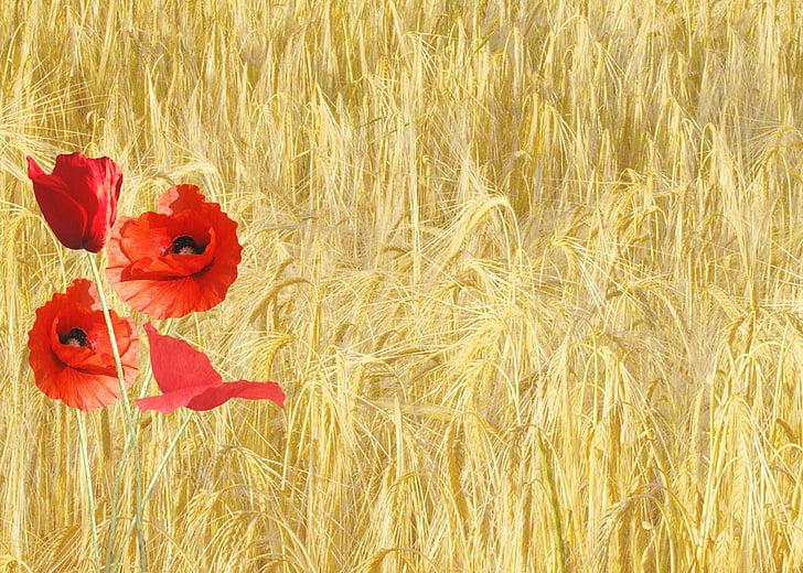 κόκκινη παπαρούνα, Papaver rhoeas, χωράφι, φύση, φυτά, λουλούδι, σιτάρι