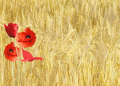 red poppy, papaver rhoeas, corn field, nature, plants, flower, wheat